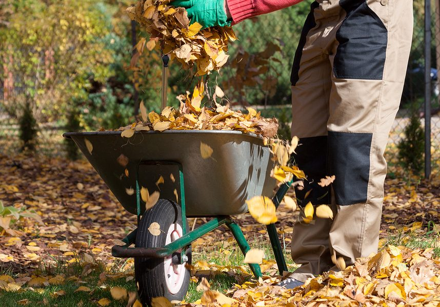 Wheelbarrow on the backyard full of yellow leaves